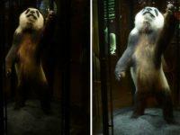 Vitrine de la Grande Galerie de l'Évolution. Avant et après rénovation de l'éclairage © Armand Zadikian